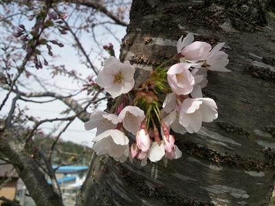 咲き始めた桜たち