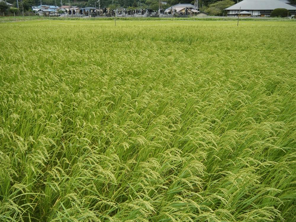 稲元気★ 曇りや雨の低温の日々が続きますが、稲たちは元気です。出穂のころまでは、... 無肥料・