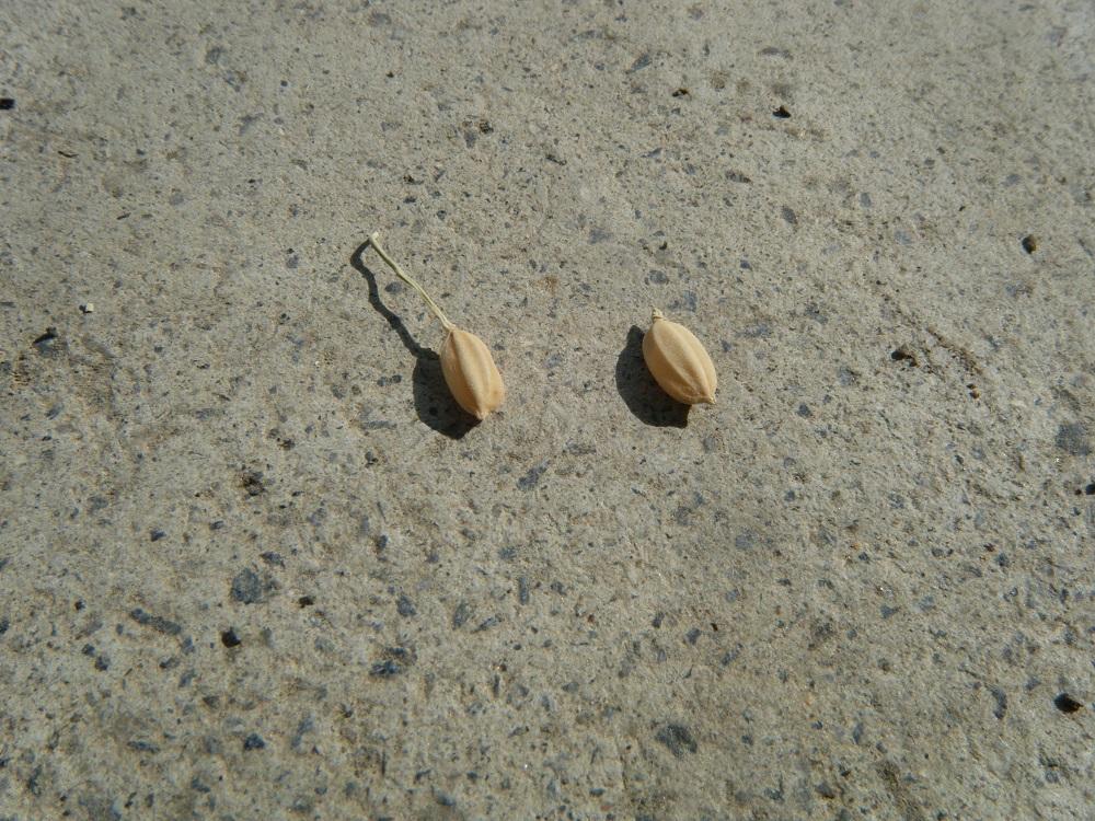 脱ぼう前(左)と、脱ぼう後(右)の種もみ。