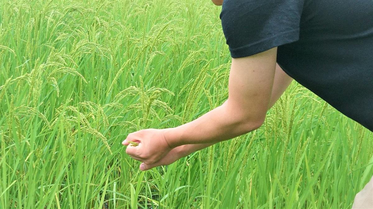 8月30日、亀の尾の穂の長さ。