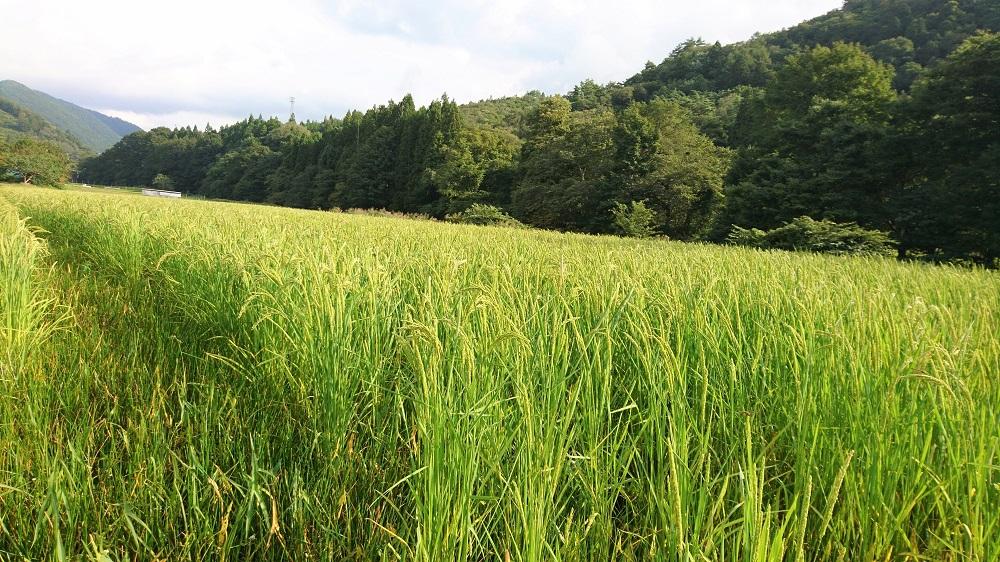 こちらも、稲に近づくと、いなごがぴょんぴょん飛び回り。