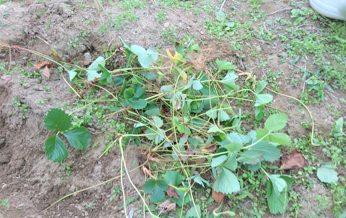 いちごの苗たち。もっときれいに並べればよかった… 根っこが黒くなっていないものを植えること。