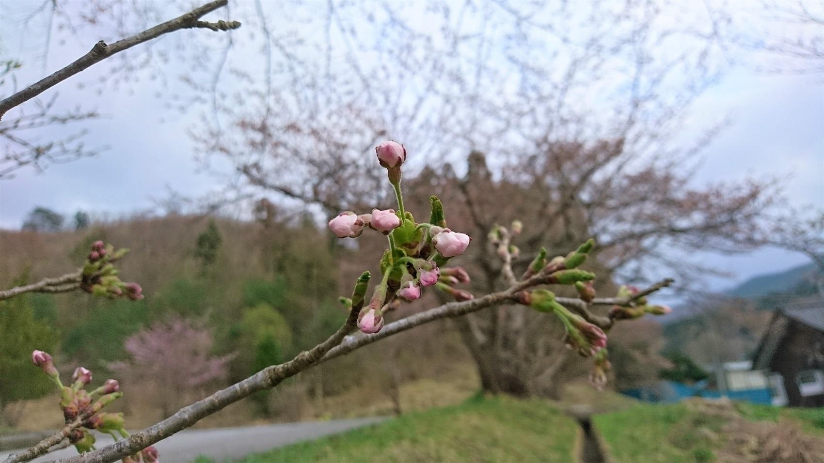 桜の色って、ほんときれい。なんとも言えないピンク色。