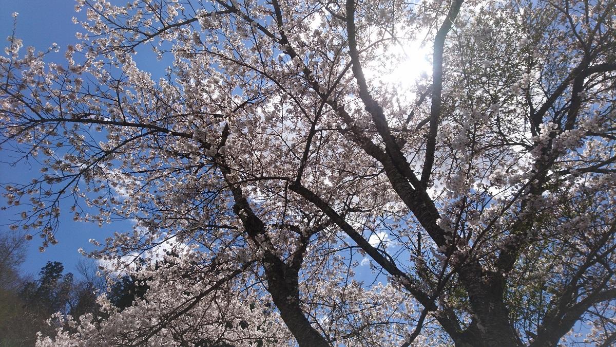 下から見上げる桜って、迫力ありますね。