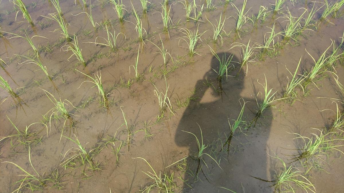 オモダカフィーバー、再びの予感。稲が勝つか。勝てるようにするね。
