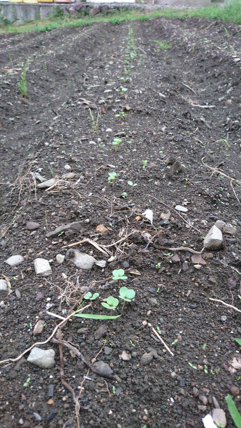 20190823 遠野かぶの芽が出た。