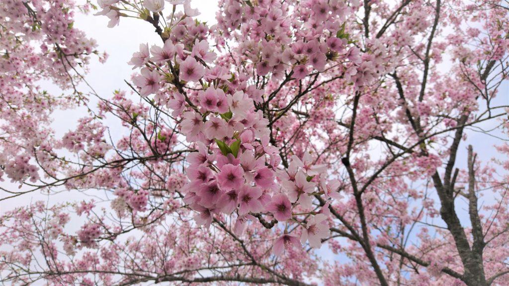 今年はピンク色の濃いソメイヨシノ。