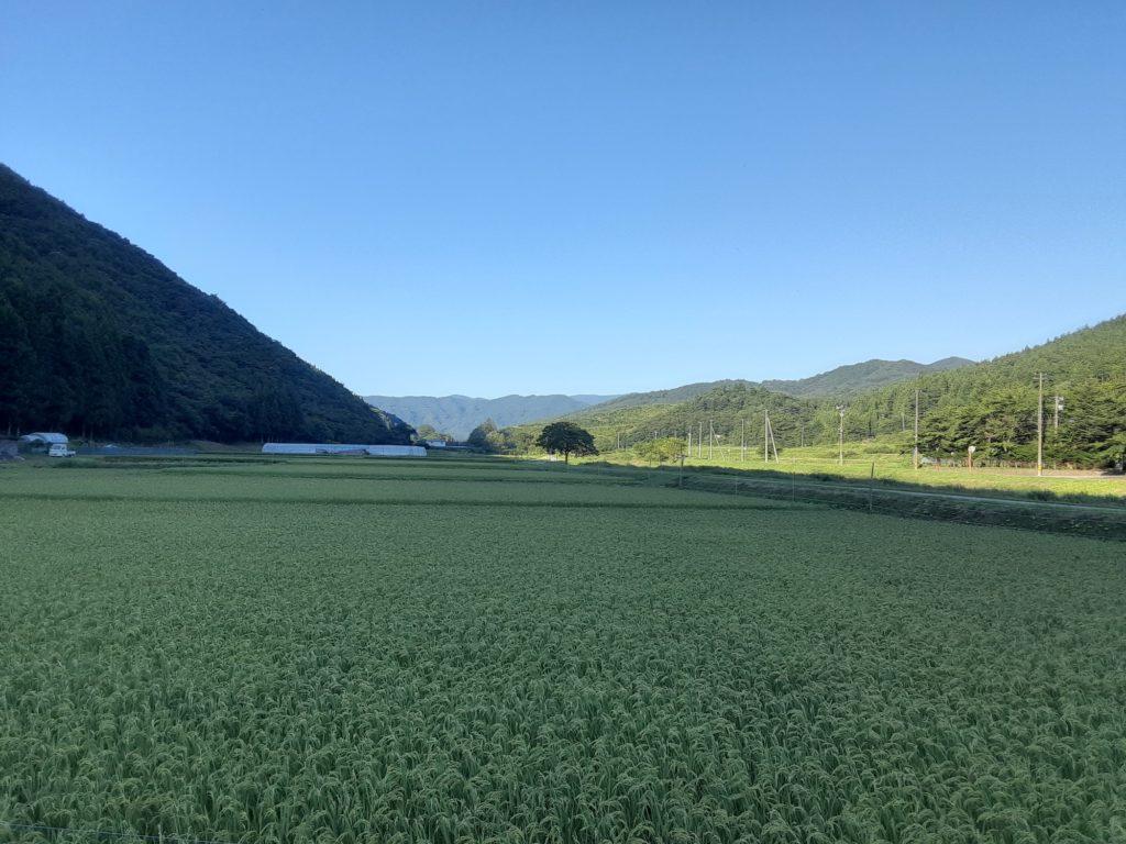 8月の田んぼ。稲穂が垂れ始めました。