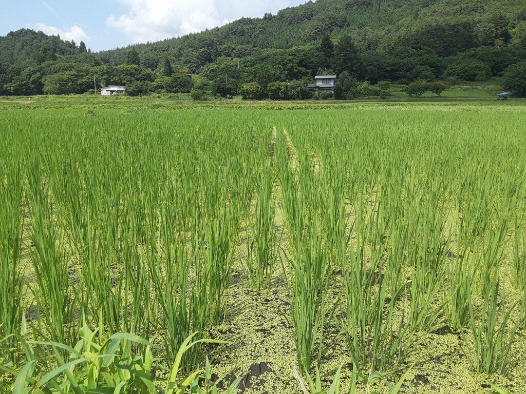 2021年7月23日 最後の2日間の草取り、30℃超えて大変でしたが、こんなに元気でひと安心。